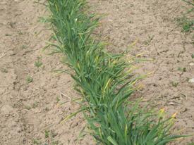 Growing Garlic